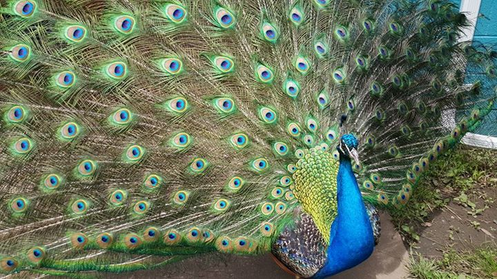A peacock spreads out his beautiful feathers.